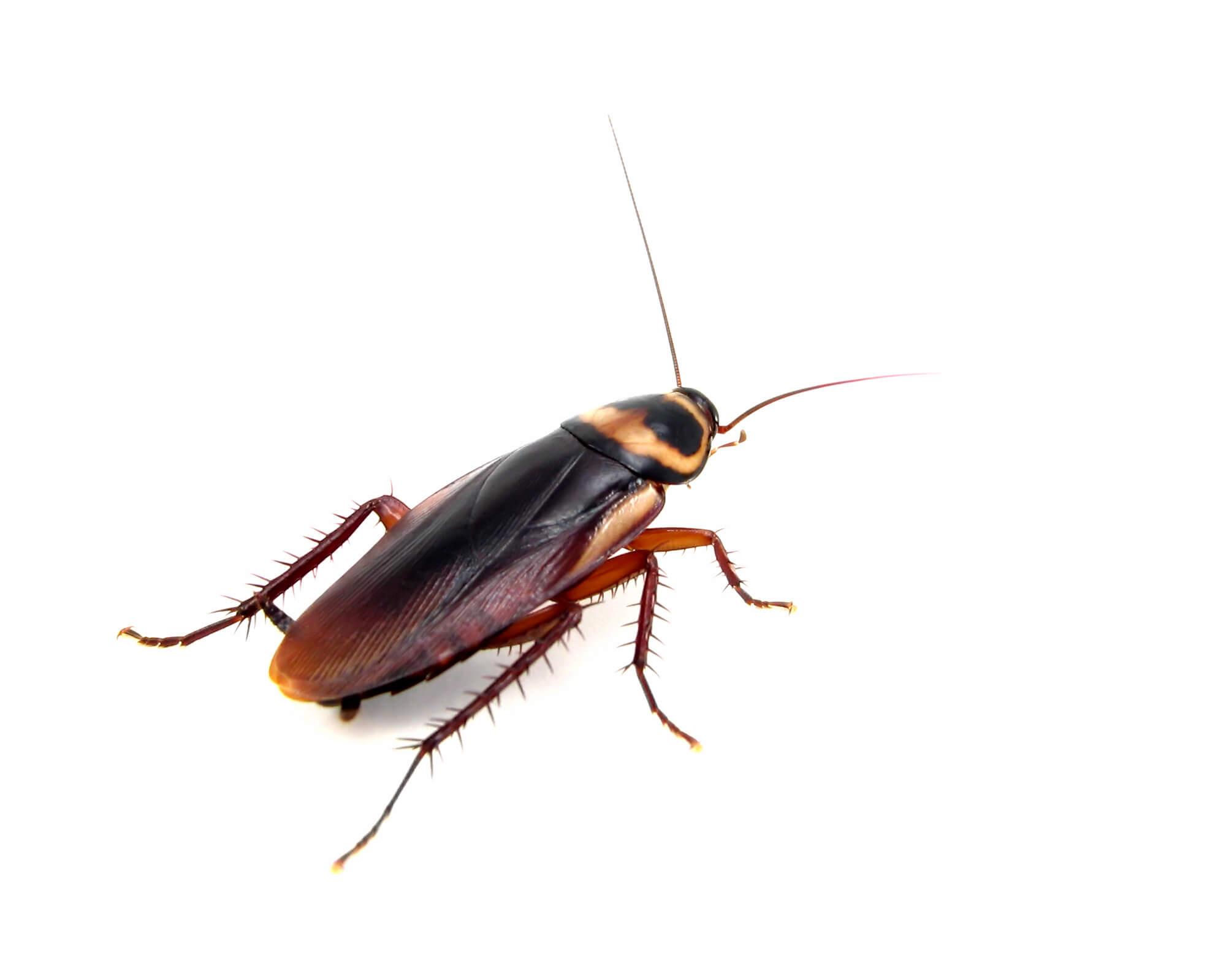 American Roach - 4